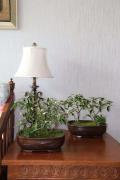 FlowerPlus花加:吉祥如意的金边瑞香如何养殖